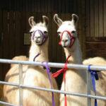 Ashdown Llama Park 10