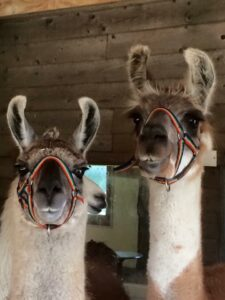 Llama Park - Llamas in Head Collars