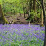 Eco Camp - Bluebells