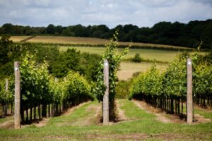 Bluebell Vineyard 2