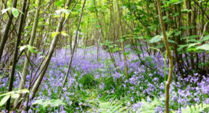Bluebells at Wilderness Wood